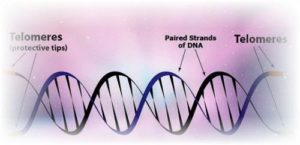 Telomere in the DNA