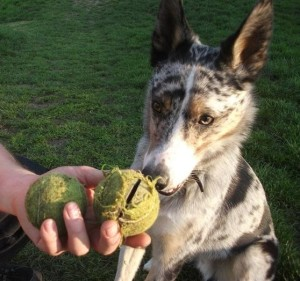 Finn with old and new tennis balls