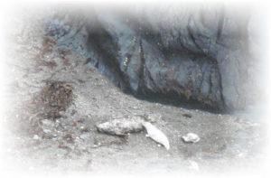 Seal feeding pup