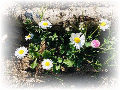 Pathway daisies